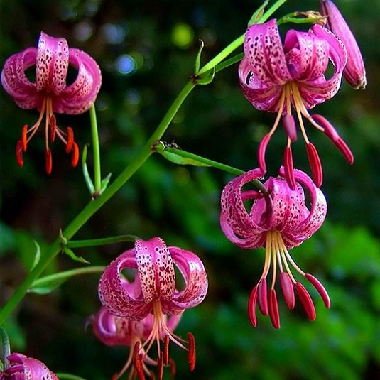 Lilium MARTAGON или Лилия Кудреватая (семена)