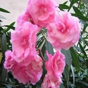Олеандр Розовый Махровый (растение)