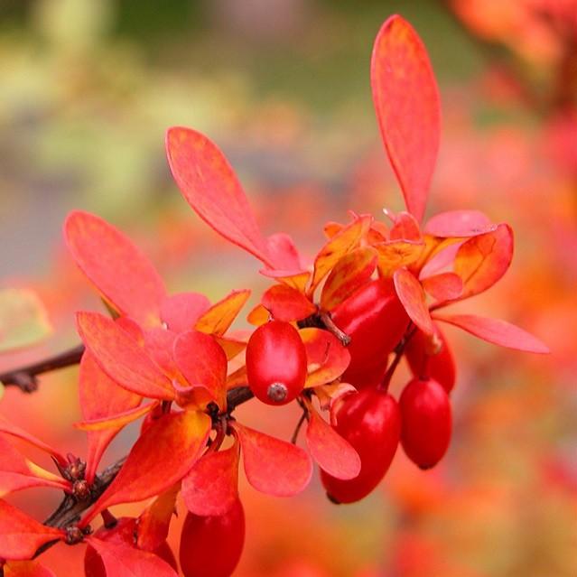 Berberis ARISTATA или Индийский Барбарис (семена)