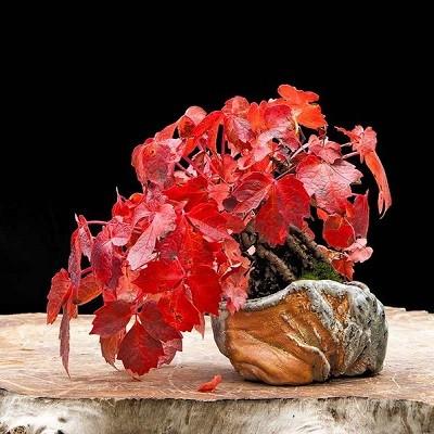 Parthenocissus TRICUSPIDATA или Девичий Виноград Триостренный (семена)