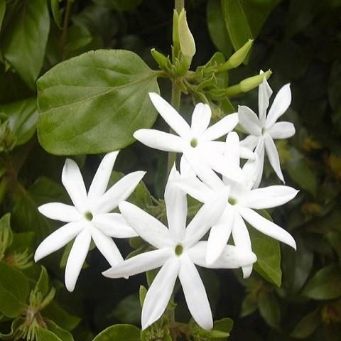 Жасмин Многоцветковый (растение)