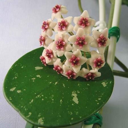 Хойя OBOVATA (растение)