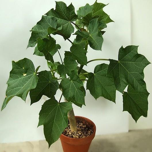 Jatropha CURCAS или Ятрофа Куркас (семена)