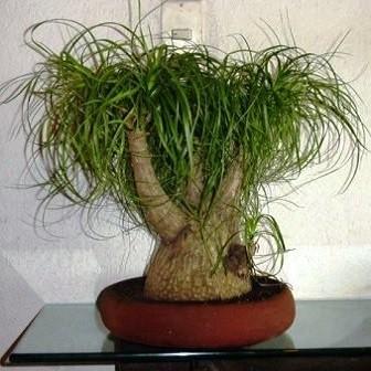 Beaucarnea Guatemalensis или Бокарнея Гватемальская (семена)