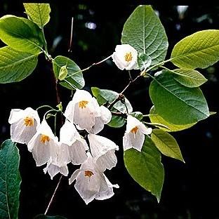 Halesia CAROLINA или Ландышевое Дерево (семена)