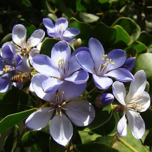 Guaiacum OFFICINALE или Гваяковое Дерево (семена)