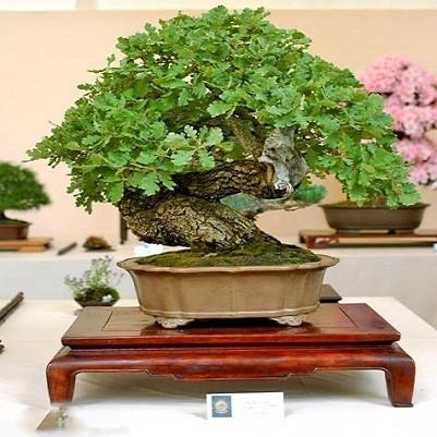 Quercus ROBUR или Дуб Черешчатый (семена)