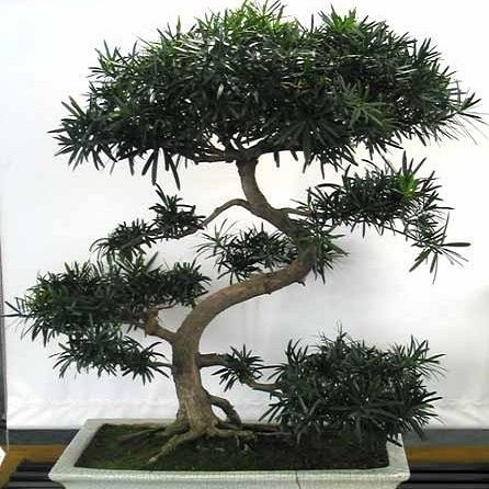 Podocarpus Gracilior или Ногоплодник (семена)