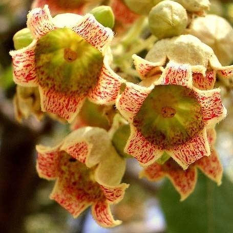Brachychiton POPULNEUS или Брахихитон Разнолистный (семена)
