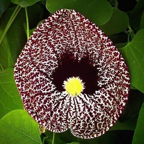 Aristolochia ELEGANS или Аристолохия Изящная (семена)