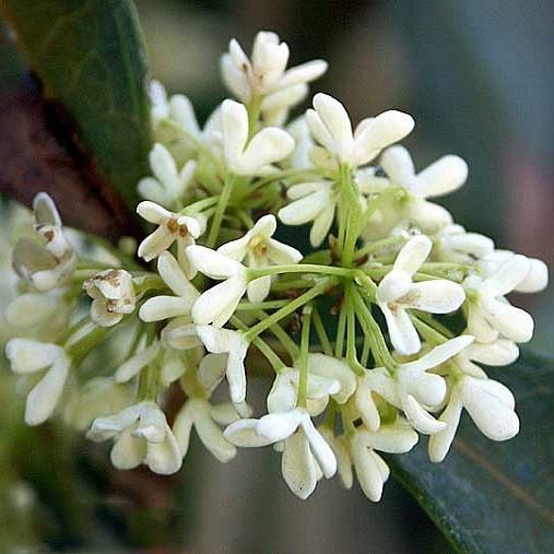 Османтус Душистый (растение)