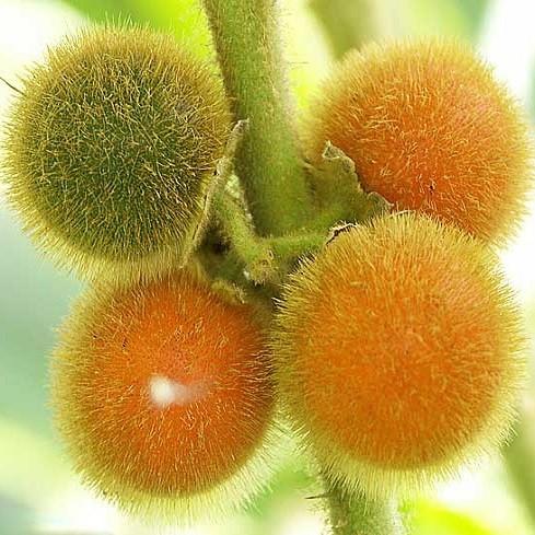 Solanum QUITOENSE или Апельсиновый Томат (семена)