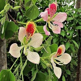 Bauhinia MONANDRA или Баухиния Однотычиночная (семена)