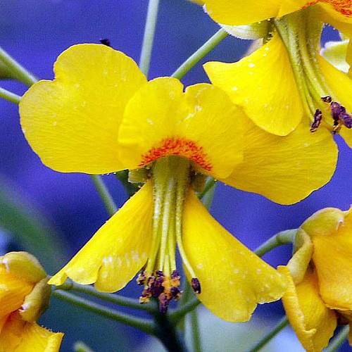 Caesalpinia MEXICANA или Цезальпиния Мексиканская (семена)