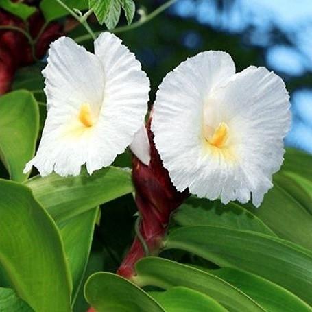 Costus SPECIOSUS или Костус Прекрасный (семена)