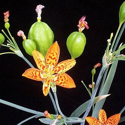 Belamcanda CHINENSIS или Тигровая Лилия (семена)