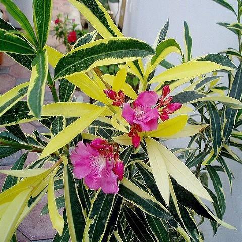 Олеандр Вариегатный Розовый (растение)