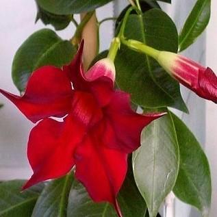 Мандевилла Красная (растение)