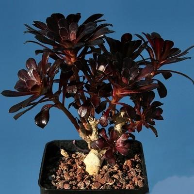 Aeonium Arboreum Atropurpureum или Эониум Древовидный (семена)