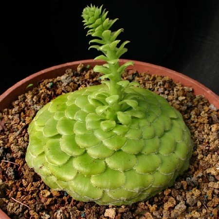 Aeonium TABULAEFORME или Эониум Ярусный (семена)