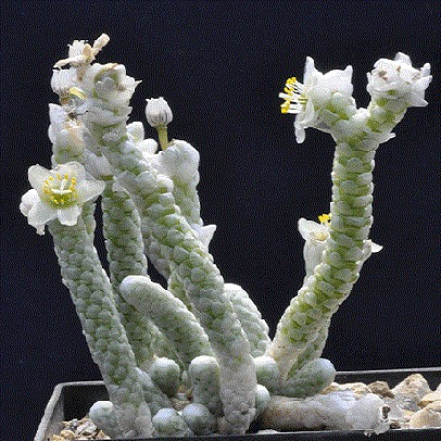 Anacampseros ALBISSIMA или Анакампсерос Белейший (семена)